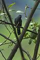 Black-winged Cuckoo-Shrike - Bhutan S4E9360 (16405725054).jpg