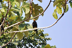Description de l'image Black Caracara (5320732936).jpg.