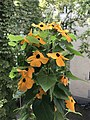 Black Eyed Susan (Thunbergia alata) with orange flowers.jpg