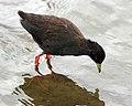 Black crake (Amaurornis flavirostris) - Flickr - Lip Kee.jpg
