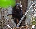Black lion tamarin Pontal do Paranapanema 5.jpg