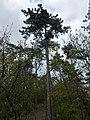 Black pine, Tűzkő Hill Forest, 2017 Budaörs.jpg