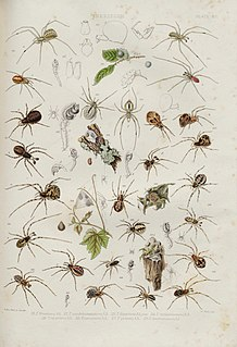 <i>Theridion melanurum</i> Species of spider