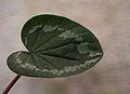 Blad van Cyclamen coum Russian Form Dark Nose. Locatie, Tuinreservaat Jonkervallei 02.jpg