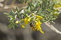 Bladderpod (Peritoma arborea) with honeybee at Rattlesnake Canyon; February 2015 (15961215124).jpg