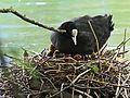 Blaesshuhn-nest-werdenberg.jpg