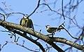 Blaumeise (Cyanistes caeruleus) im Grünfelder Park in Waldenburg. 2H1A3546WI.jpg