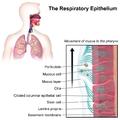 Blausen 0766 RespiratoryEpithelium.png