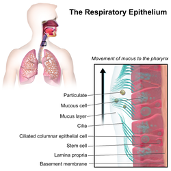 Respiratory epithelium - Wikipedia