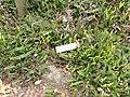 Blechnum penna-marina - University of California Botanical Garden - DSC08910.JPG