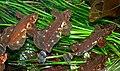Blepsias cirrhosus 3.jpg