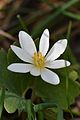Bloodroot (Sanguinaria canadensis) - Guelph, Ontario 01.jpg
