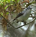 Blue-grey Gnatcatcher (6952604584).jpg