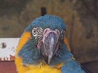 Blue-throated Macaw 04.jpg