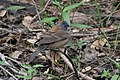 Blue Grosbeak (1st year male) Sabine Woods TX 2018-04-21 12-30-39 (40164518380).jpg