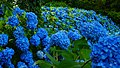 Blue hydrangea blossom in Unsho-ji, Oga, Japan 20180630e.jpg