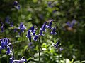 Bluebells, Rora Wood - geograph.org.uk - 1302150.jpg