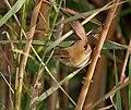 Blunt-winged Warbler (Acrocephalus concinens) in AP W IMG 4081.jpg