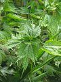Boehmeria tricuspis - Flickr - peganum (1).jpg
