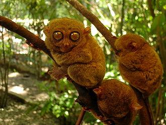 Philippine tarsier - Philippine tarsiers in Bohol.