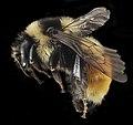 Bombus ternarius, F, Side, NY, Franklin County 2014-07-01-16.36 (26204259908).jpg