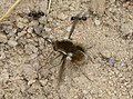 Bombylius fimbriatus, probably (32401342485).jpg