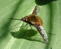 Bombylius major fg01.jpg