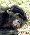 Bonobo (Pan paniscus) at Lola Ya Bonobo - 1.JPG