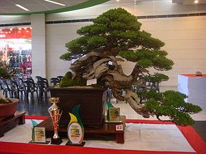 Pemphis - Pemphis acidula, bonsai