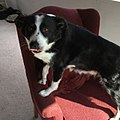 Border collie on a chair.jpg