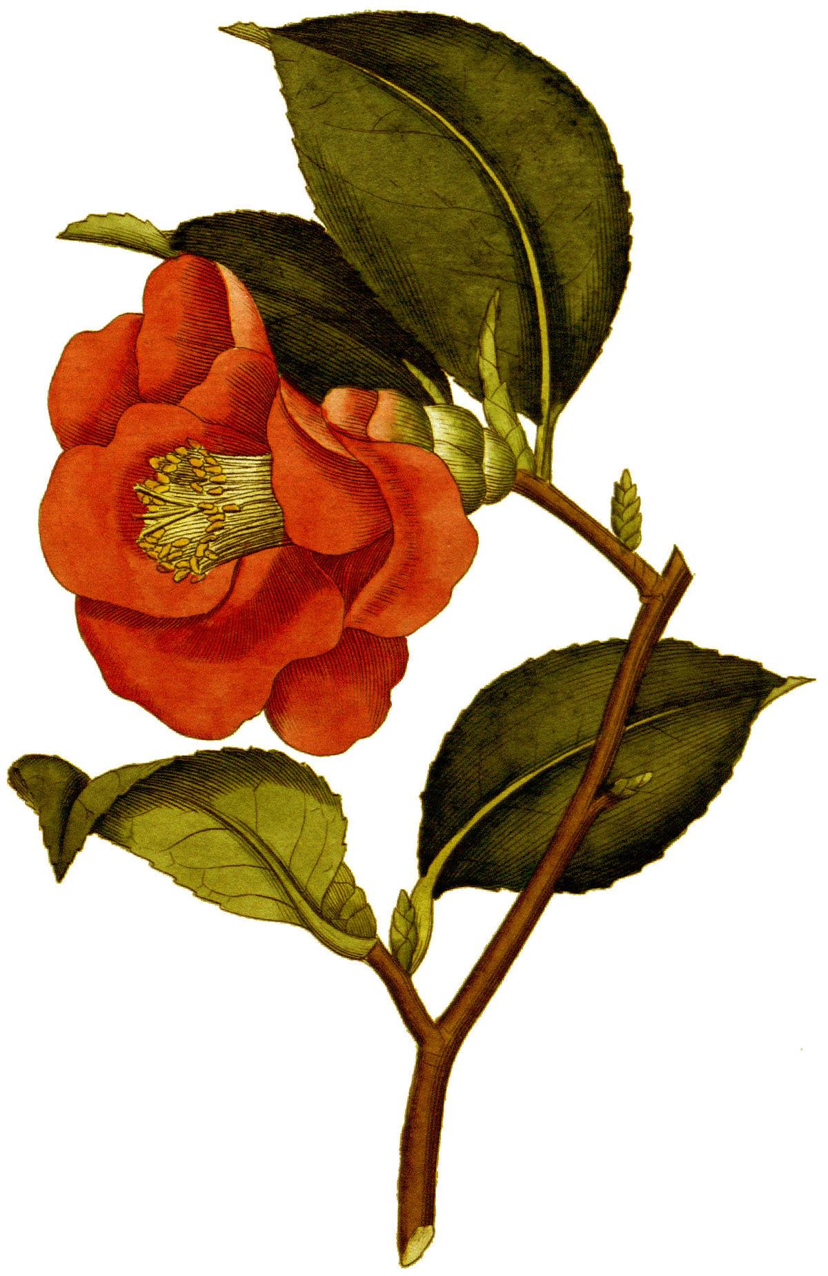 квіти камелія фото