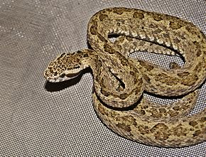 Description de l'image Bothrops venezuelensis by Danny Siwek.JPG.