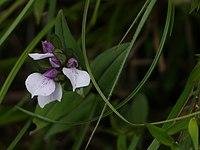 Brachycorythis wightii Summerh. (14536072935).jpg
