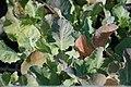 Brassica oleracea var. botrytis Snow Crown 0zz.jpg