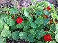 Brassicales - Tropaeolum majus 1.jpg
