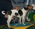 Brazilian Terrier blue tricolor.jpg