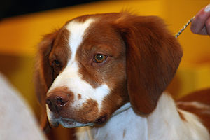 Brittany dog - An orange and white American Brittany