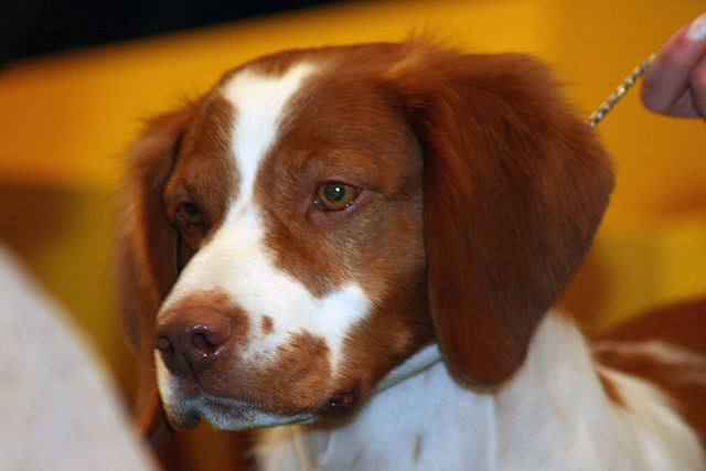French Brittany Dog For Sale