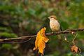 Brown Shrike 3 @ Kakkadampoil 2-2-14.jpg