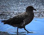 Brown Skua out for a stroll (5849162538).jpg