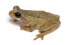 Brown Tree Frog 2.jpg