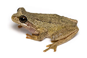 Reinforcement (speciation) - The southern brown tree frog, Litoria ewingi