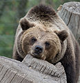 Brown bear at Skansen2 (14995413497).jpg