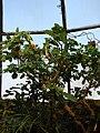 Brugmansia sanguinea (BG Zurich)-02.JPG