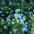 Brunnera macrophylla10.jpg
