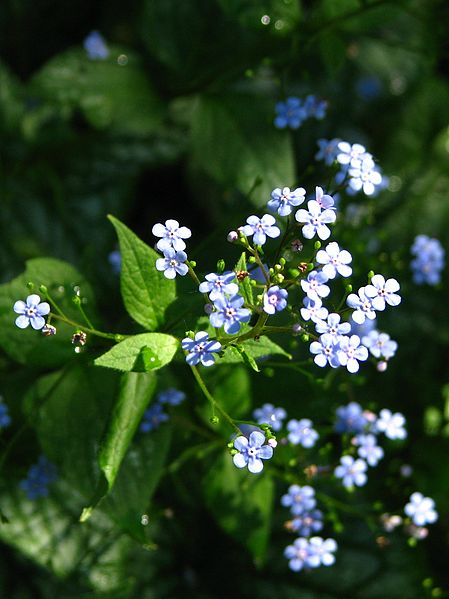 File:Brunnera macrophylla cv.01.jpg
