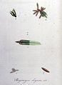 Bryomyces elegans — Flora Batava — Volume v8.jpg