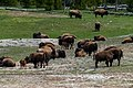 Buffalo Herd Close-up AWBF-4.jpg