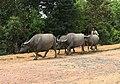 Buffaloes Mandalay Region.jpg