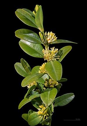 Buxus sempervirens - Image: Buisfleurs